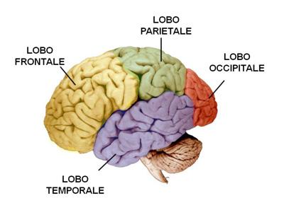 Lobo cerebrale