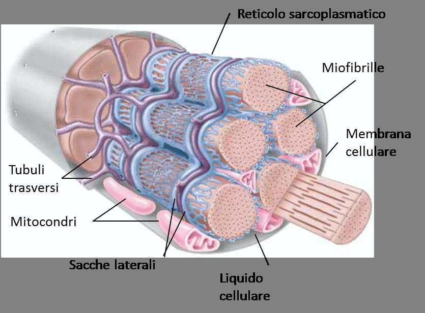 Le fibre muscolari (3)