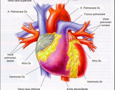 Anatomia e Fisiologia del cuore