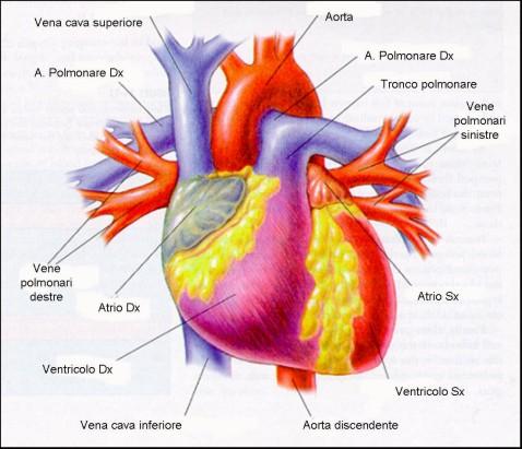 Cuore atri ventricoli