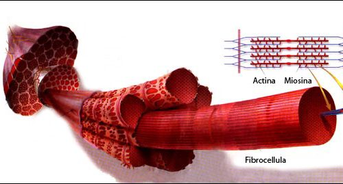 La fisiologia del muscolo