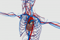 Il sistema circolatorio: circolo polmonare e sistemico