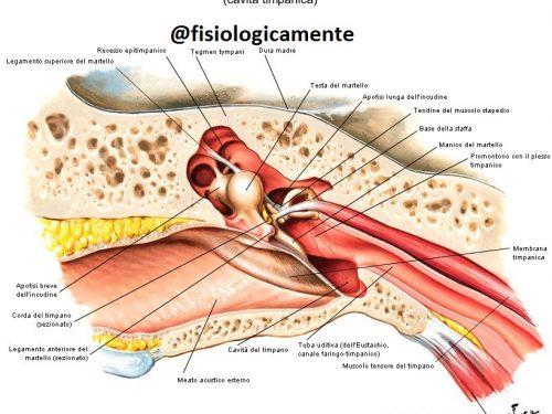 Anatomia orecchio esterno: com'è fatto e come funziona