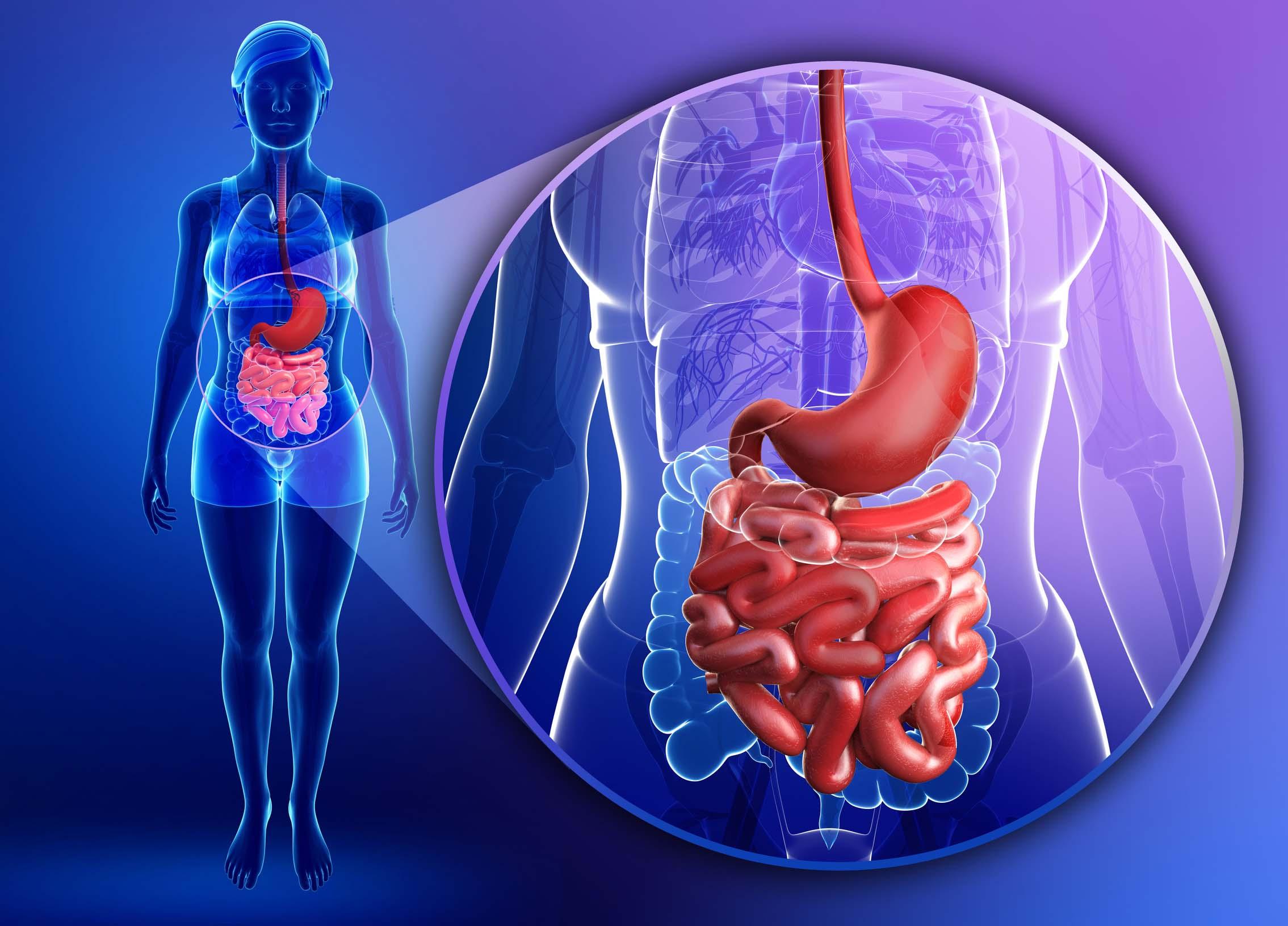 Illustration of female small intestine anatomy