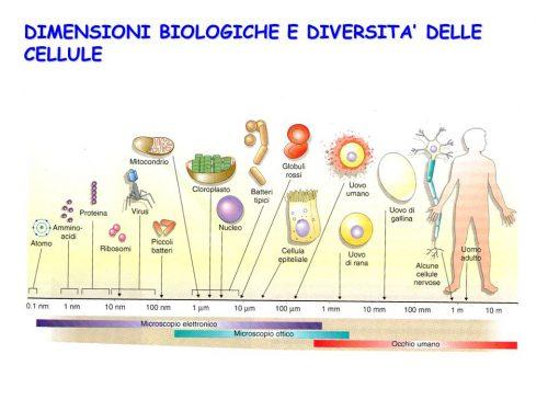 Biologia | Le dimensioni delle cellule