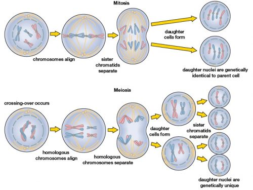 Biologia | Mitosi e Meiosi a confronto