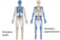 Biologia | L'apparato scheletrico