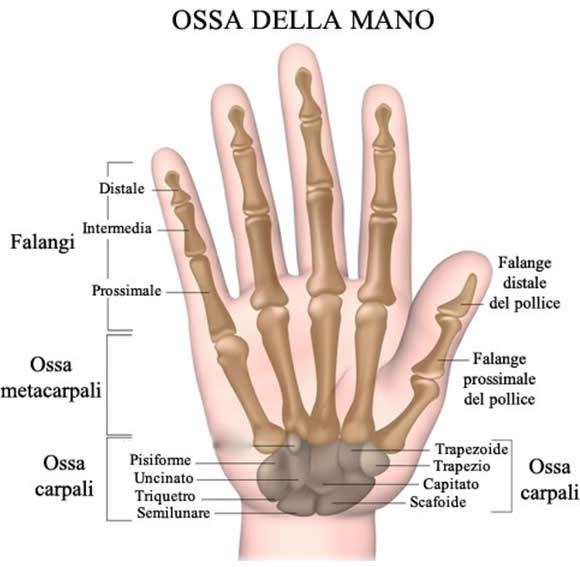 ossa-della-mano