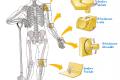 Biologia | Le articolazioni e la loro funzione
