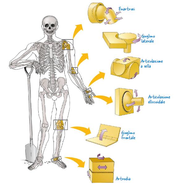 Biologia | Le articolazioni