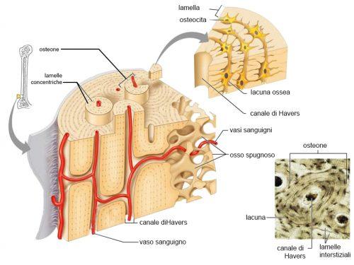 Biologia | Le caratteristiche principali del tessuto osseo